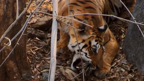 老虎妈妈要对小老虎做什么,真相到底是什么,镜头记录全过程