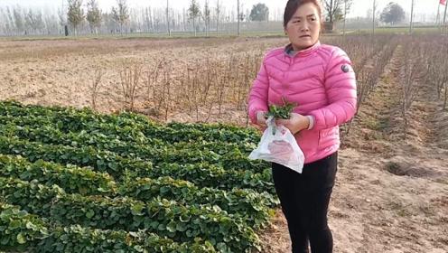农村媳妇大冬天地里挖野菜,为啥挖到一半不挖了,这是看到了什么