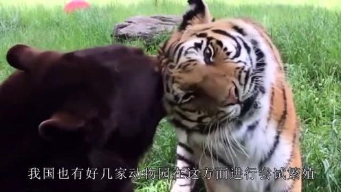 身为狮子老虎孕育的生物,狮虎兽竟然濒危灭绝,原来是因为这个