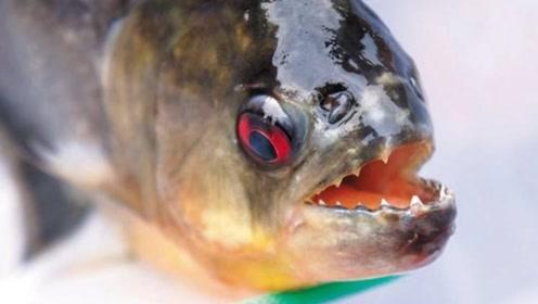 为什么食人鱼没称霸淡水河?原来有这个天敌,一秒消灭30只!