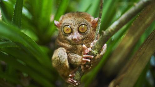 """菲律宾十分凶残的""""食人猴"""",已具备思考能力并进化语言能力?"""