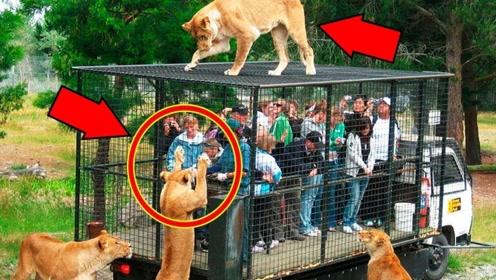 """动物园推出""""铁笼子"""",将游客关在里面,才能近距离接触狮子!"""