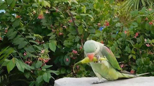 贪嘴的鹦鹉吃起了辣椒,一会就后悔了,镜头记录全过程