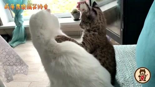 家养猞猁太凶了!连一起长大的猫咪都欺负