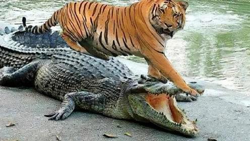 老虎到河边喝水,鳄鱼作死偷袭,老虎:真是吃了豹子胆了!