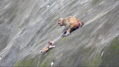 小猴子不听话,被猴妈妈推下悬崖当场摔死!镜头拍下残忍全过程