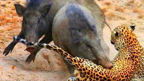 花豹追杀野猪,野猪不断奔跑诱敌深入,豹子发现不对劲时已经晚了