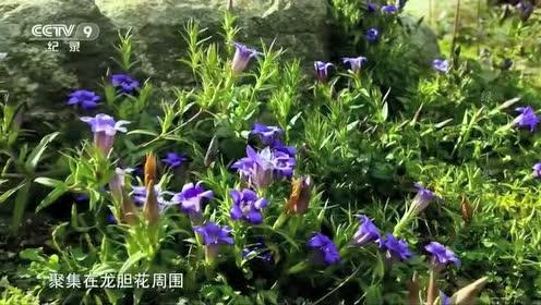 龙胆花的花管太长!只有长着长长口器的昆虫或鸟类才能汲取花蜜!