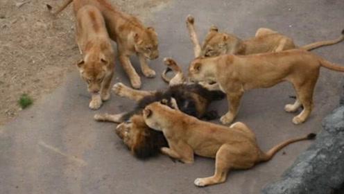 公狮被母狮咬住脑袋,五只母狮轮流拔毛,雄狮已秃了一大片