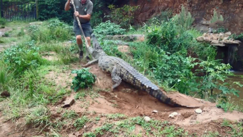 男子碰到一条鳄鱼,拿起棍子捅了几下,下一秒悲剧就发生了