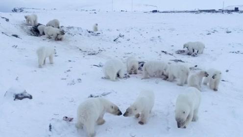 """俄罗斯一村庄被56只北极熊""""包围"""",全村取消所有公共活动"""