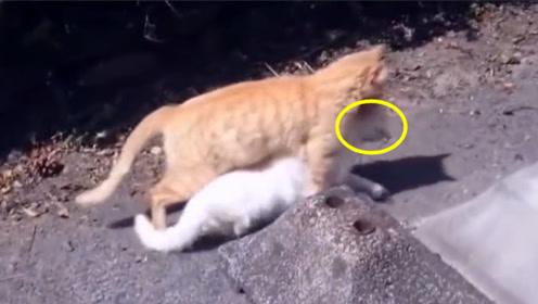 猫妈妈出门叼着宝宝,拖在地上都不管,白猫:我不要面子的吗