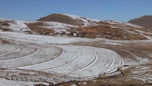 恶劣的大雪导致黑颈鹤不能外出觅食!只能在大雪中等待!太惨了!
