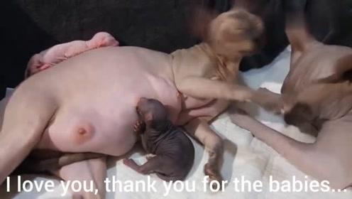 珍贵的无毛猫生产,雄猫全程陪伴,对刚出生的宝宝喜爱不已