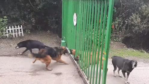 5条狗隔着大门互相叫嚣,狗主人把大门打开,就怕空气突然安静!