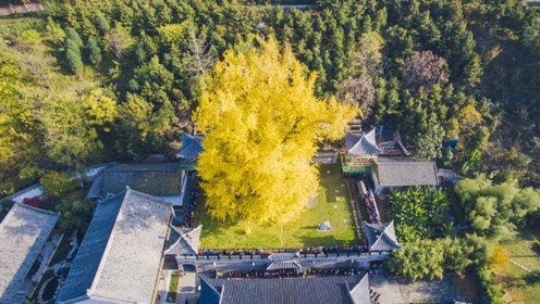 李世民曾亲手栽下一棵银杏树 如今1400年过去了长什么样?