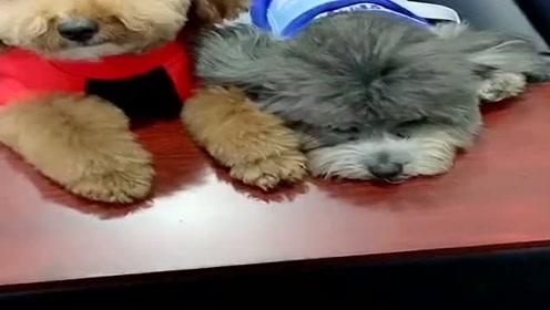 泰迪狗狗们闹矛盾了,铲屎官要把它们分开,看它们的反应让人心疼!