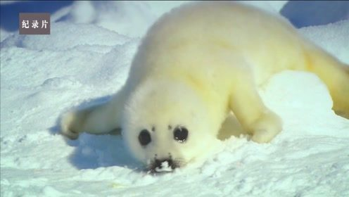 激萌无比的小北极熊和小海豹!可它们要面对什么样的考验呢?