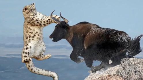 雪豹和牦牛激烈厮杀,800斤牦牛一脚下去,雪豹发出阵阵惨叫