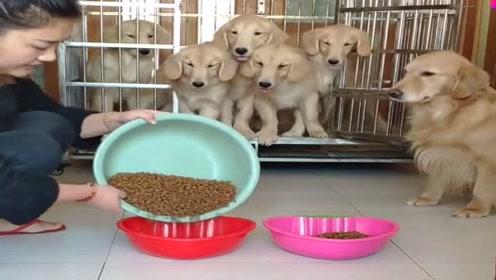 铲屎官给狗狗喂饭吃,看它们的反应真听话,网友:好可爱的狗狗!
