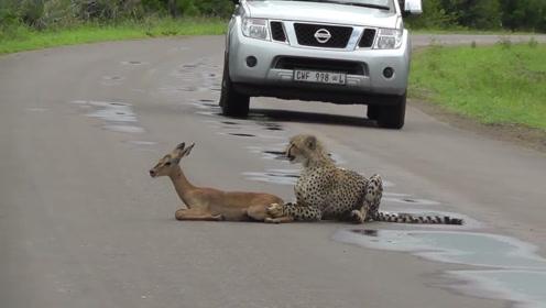 猎豹捉到一只羚羊,却没有下一步动作,左顾右盼终于等来帮手