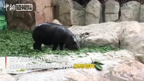 倭河马宝宝亮相广州