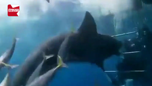 惊险!鲨鱼攻击笼内潜水员未果丧命:铁笼间隙太大