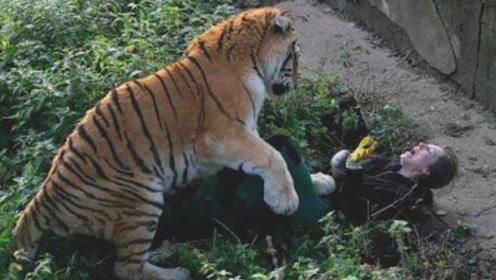 饲养员给老虎喂食,老虎突然发怒,下秒意外发生了!