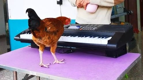 大公鸡竟会弹钢琴《两只老虎》 网友:公鸡中的钢琴家