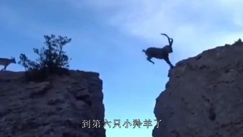 羚羊飞跃千尺悬崖,最后一只才是高手,镜头记录全过程