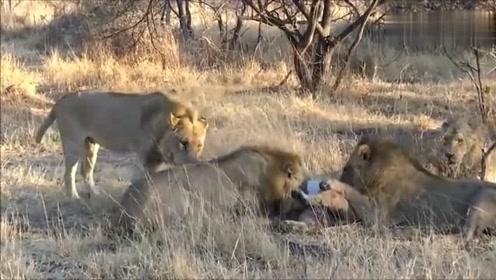 母狮被4头雄狮家法伺候,得罪老大的后果,悲剧了