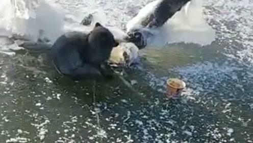 在冰面上发现一只狐狸,这么冷的天气自己躲在这里,好想带它回家!