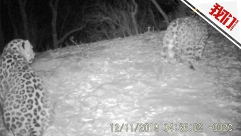 两只正处于配对繁殖期的东北豹同框画面曝光 全球仅有约一百只