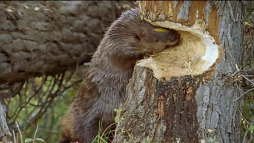 村民请一波动物帮忙御寒,本要取毛取暖,却不慎招来一群伐木工!
