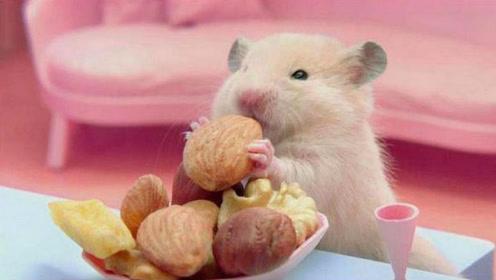 女子买来一只小仓鼠,喂养了一个月发现不对劲,网友:赚大了