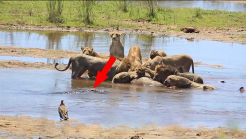 狮子一家在水里吃羚羊,一条鳄鱼悄悄靠近,镜头拍下惊险一瞬间!
