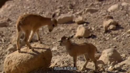 羊这种生物也没谁了,爬山能力令人叹服,很好奇它要怎么下来