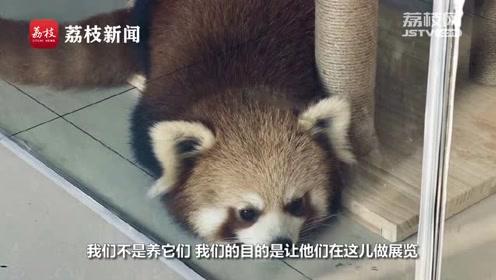 重庆私立猫咖惊现小熊猫?林业局:正在核查
