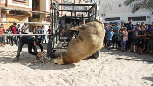 一头牛刚被拉进来,就被困在地上,看着真是太可怜了
