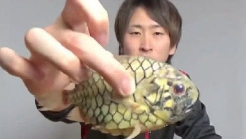 钻石级硬度的鱼,煮不烂,剪刀剪不开,日本人到底是怎么吃它?