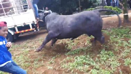 一头牛被送屠宰场,不料牛儿有灵突然发难,场面混乱不堪!