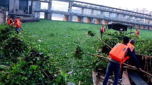 曾经入侵中国的水葫芦,如今消失都去哪了?不得不说中国人真聪明