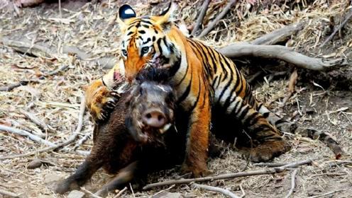 野猪被老虎锁住咽喉,本以为完蛋,不料突然翻身扑咬老虎!有骨气