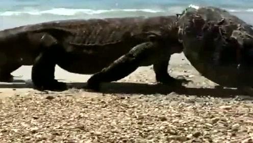 这个戴着钢盔的怪物是什么?居然是刚掏空一只海龟的科莫多巨蜥!,好可怕
