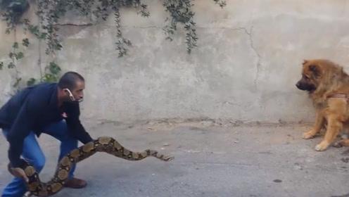 藏獒攻击路过的男子,当他拿出自己的宠物,藏獒立马就怂了