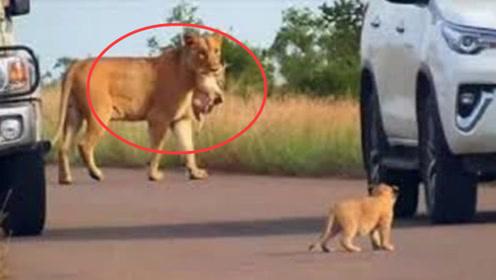 狮子妈妈叼着娃就往前走,突然发现不对劲,回头一看笑懵了