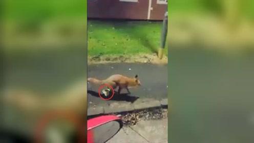 谁也别想喝!狐狸偷喝啤酒被赶 扭头就朝杯子里尿尿