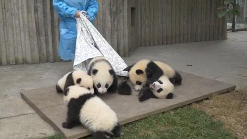 熊猫团子真是调皮,三个一起拽床单,饲养员都被气笑了