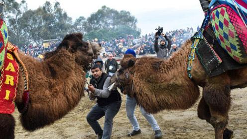 土耳其人用母骆驼来诱导公骆驼打架,究竟是残忍还是秉承动物本性?