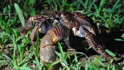 世界最大螃蟹长达一米肉质鲜美,食客疯狂追捧